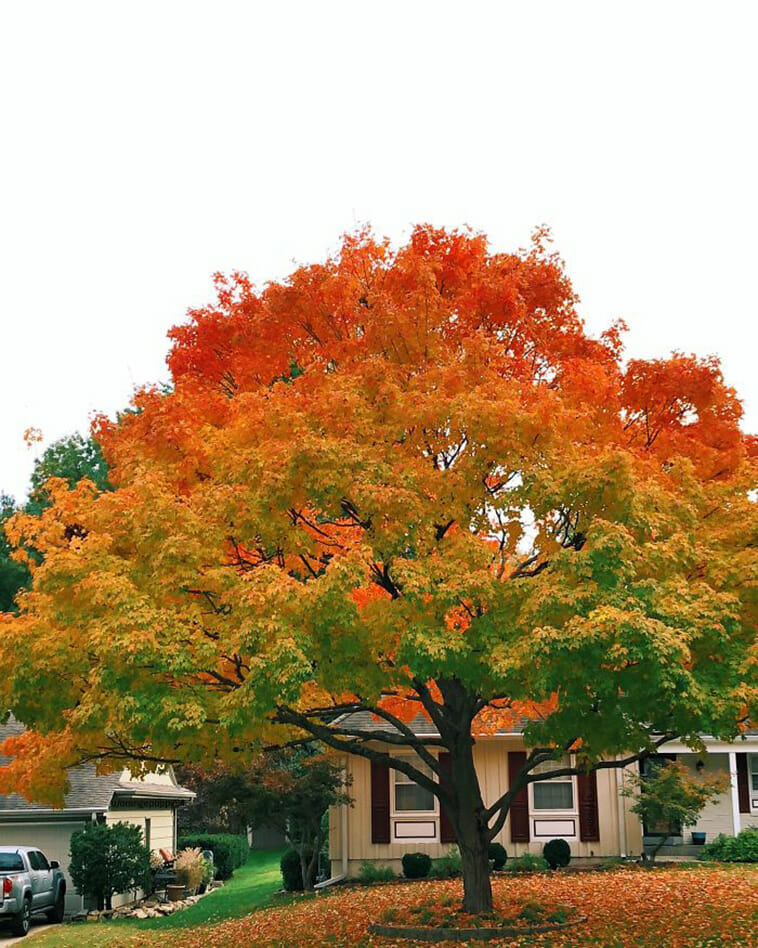 My Neighbor's Tree Has The Perfect Fall Gradient